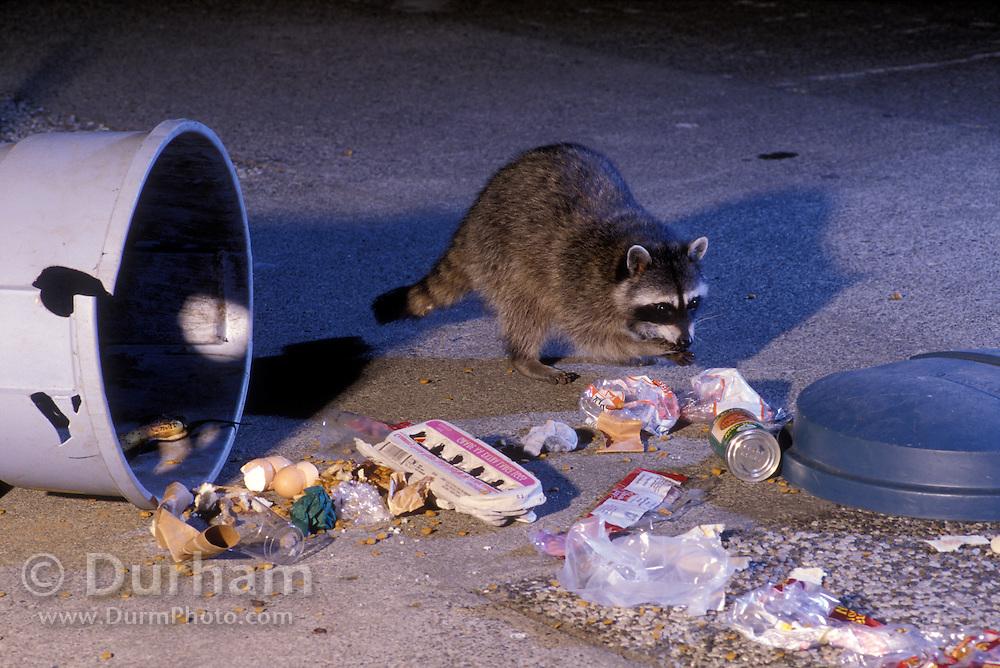 Raccoons (Procyon lotor) raiding an urban garbage can in Portland, Oregon.