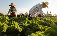 Leticia Andrade (from left), crew member, and Daniel Andrade, crew member, work on harvesting green kale at Grinnell Heritage Farm in Grinnell on Tuesday, Jul. 18, 2017. Grinnell Heritage Farm, owned and operated by Andrew and Melissa Dunham, produces USDA organic vegetables, flowers and herbs.