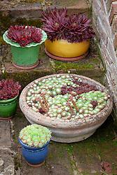 Group of pots of Sempervivum - Houseleeks - on the steps
