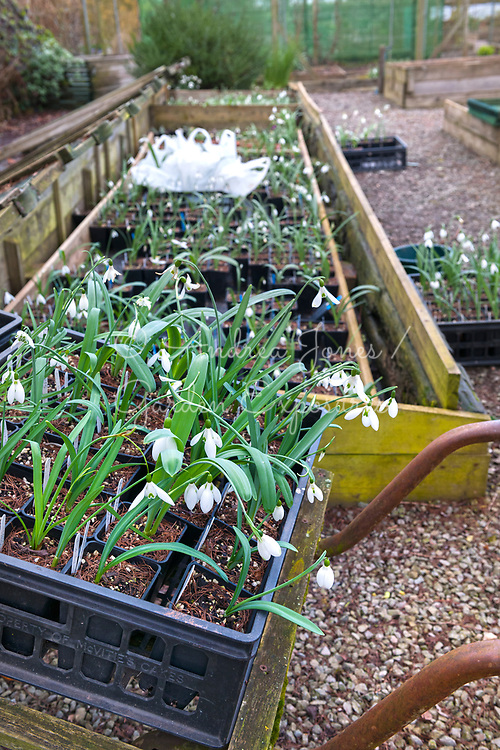 Galanthus cv (snowdrop) varieties growing in raised beds and trays