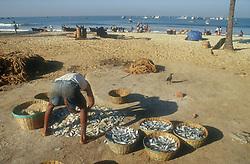 Beach scene in Goa; India; with fisherman sorting fish into baskets,