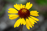 A yellow Gaillardia aristata (Great Blanket Flower) along the Juniper Trail, in Kootenay National Park, Radium Hot Springs, British Columbia, Canada. The aster, daisy, or sunflower family (Asteraceae or Compositae) is the largest family of vascular plants.