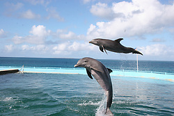 Dolphins jumping in a pool, Anguilla, Caribbean<br />