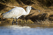 Royal Spoonbill with a flounder fish, New Zealand