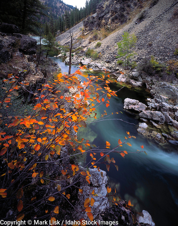 Idaho. Lovely fall foliage adorns the bank of Pistol Creek Rapid on the Middle Fork of the Salmon River. Frank Church Wilderness.