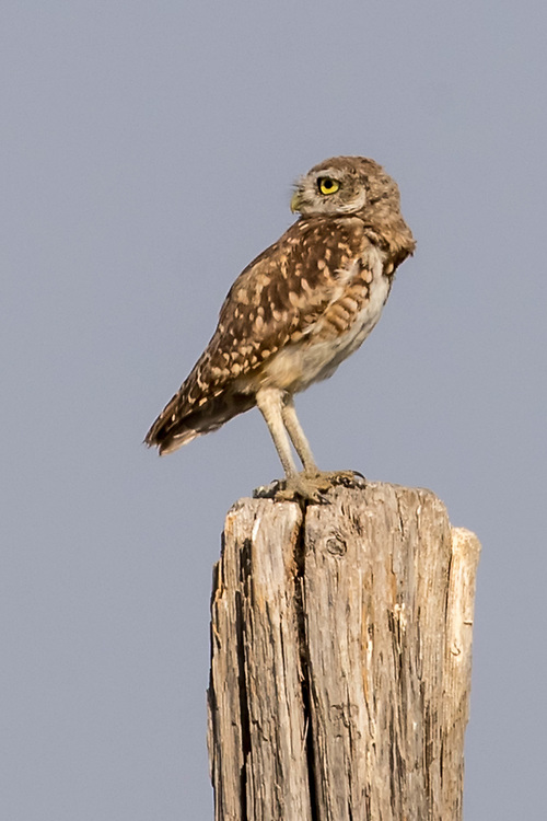 Burrowing owl near Hillsdale, Wyoming, on Aug. 23, 2017.