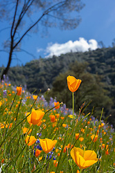 """California Poppies 3"" - These wild California Poppy flowers were photographed near Windy Pt. along the North Fork American River."