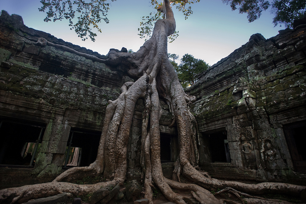 Strangler fig tree at Ta Prohm Temple Unlike other temples at Angkor, Ta Prohm has been left as it was found, preserved as an example of what a tropical forest will do to an architectural monument when the protective hands of humans are withdrawn. Ta Prohm's walls, roofs, chambers and courtyards have been sufficiently repaired to stop further deterioration, and the inner sanctuary has been cleared of bushes and thick undergrowth, but the temple has been left in the stranglehold of trees. Having planted themselves centuries ago, the tree's serpentine roots pry apart the ancient stones and their immense trunks straddle the once bustling Buddhist temple.