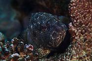 Epinephelus merra (Dwarf Spotted Grouper)