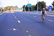 Bicycle rider on an empty motorway roadkill (of a Sand Fox Vulpes rueppellii) on the left