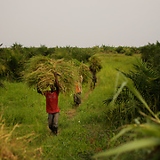 Workers carry hay from a field a few meters away from Gatumba border crossing between Burundi and the Democratic Republic of Congo (DRC). According to the United Nations, more than 120 thousand people fled Burundi since the end of April as when of the beginning of violent protests over President Pierre Nkurunziza's controversial bid to stand for a third consecutive five-year term.