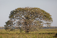 Snowy egrets, Egretta thula, and great egrets, Ardea alba, roosting in a large tree in the Pantanal.