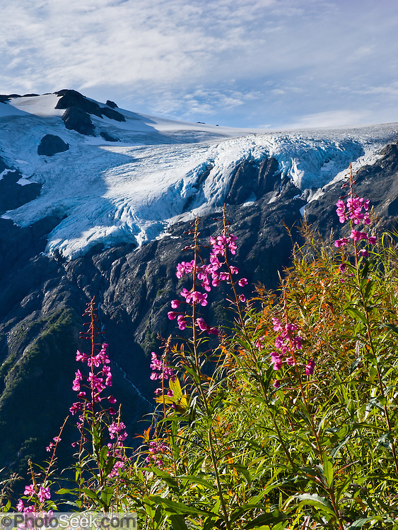 See Harding Icefield on the Exit Glacier Trail in the Kenai Mountains of Alaska, USA. Fireweed (Epilobium angustifolium) blooms pink in an alpine meadow. The only road into Kenai Fjords National Park is a spur of the Seward Highway to Exit Glacier, one of the most visited glaciers in Alaska. It was named after the exit of the first recorded crossing of Harding Icefield in 1968. Hike trails to the glacier terminus or up to Harding Icefield. From 1815-1999, Exit Glacier retreated 6549 feet, melting an average of 35 feet per year, according to www.nps.gov/kefj/.