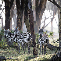 Zebras in early morning. Crescent Island Game Sanctuary, Lake Naivasha, Kenya, in the Great Rift Valley