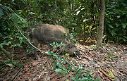 A Bornean bearded pig searches for food along the forest floor in Tanjung Puting National Park, Indonesia.