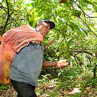 Agricultor con saco de mazorcas de Cacao en el pueblo de Birongo, ubicado entre las poblaciones de Curiepe y Capaya, en la porción centro-norte de Venezuela. Jimmy Villalta