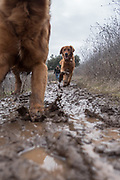Two dogs (golden retrievers) runing down a muddy winter trail