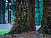 Historic light fixture and firs line the summit loop, Mount Tabor Park, Portland, Oregon.