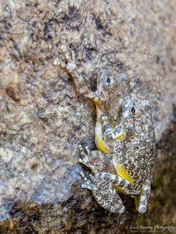 Amorous amphibians (I believe canyon tree frogs- Hyla arenicolor), Romero Creek, Santa Catalina mountains