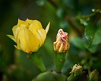 Yellow Prickly Pear cactus flower. Backyard spring nature in new Jersey. Image taken with a Nikon D3 camera and 200 mm f/2 telephoto lens and TC-E II 2x  teleconverter (ISO 1400, 400 mm, f/4, 1/1000 sec).