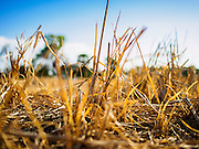 01 JULY 2015 - NON PHAK NAK, SUPHAN BURI, THAILAND:  Dead rice plants in a field in Lopburi province. Central Thailand is contending with drought. By one estimate, about 80 percent of Thailand's agricultural land is in drought like conditions and farmers have been told to stop planting new acreage of rice, the area's principal cash crop. Water in reservoirs are below 10 percent of their capacity, a record low. Water in some reservoirs is so low, water no longer flows through the slipways and instead has to be pumped out of the reservoir into irrigation canals. Farmers who have planted their rice crops are pumping water out of the irrigation canals in effort to save their crops. Homes have collapsed in some communities on the Chao Phraya River, the main water source for central Thailand, because water levels are so low the now exposed embankment is collapsing. This is normally the start of the rainy season, but so far there hasn't been any significant rain.    PHOTO BY JACK KURTZ