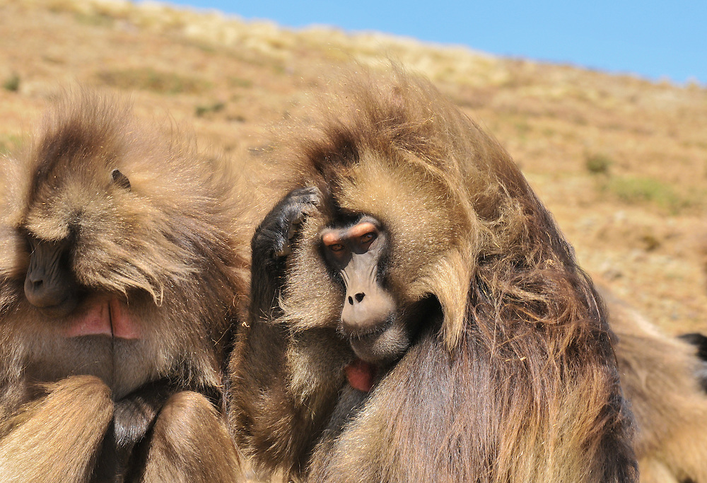 Two Gelada baboons at the Simien mountains, Ethiopia.