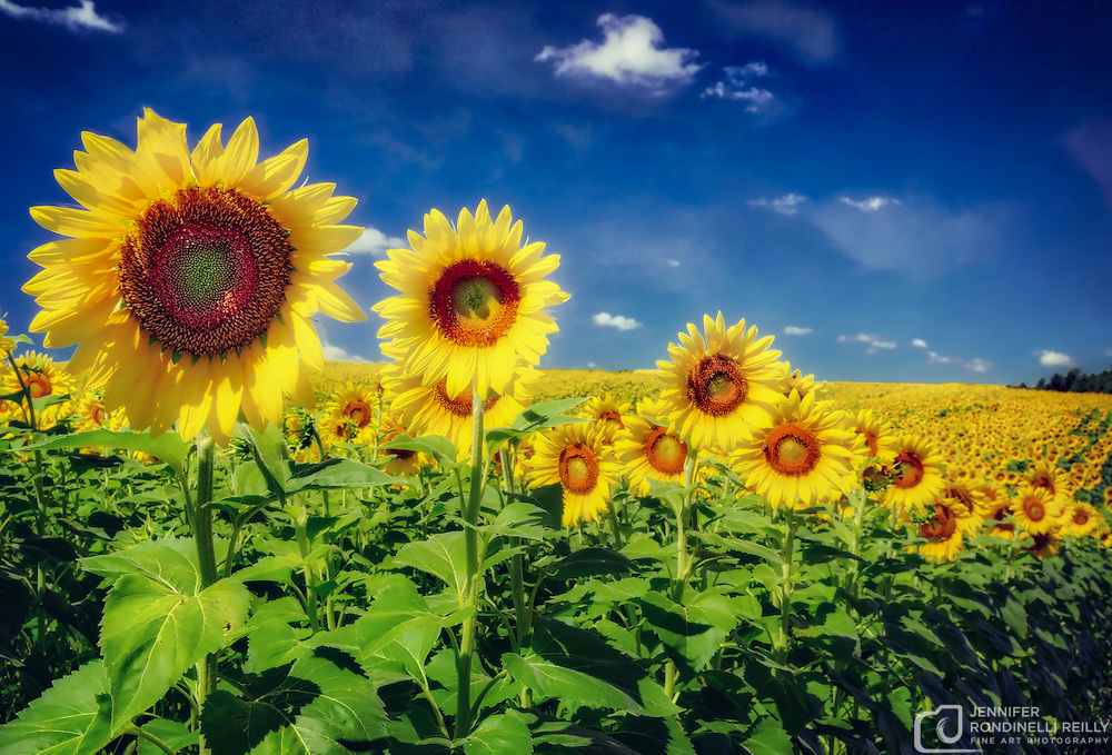 Photo taken of sunflowers at Pope Farm Conservancy in Verona,WI.