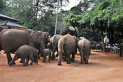 Sri Lanka a herd of work elephants