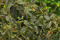 Putty-Nosed Guenons (Cercopithecus nictitans stampflii) feeding in a fig (Ficus sp.) tree.  This subspecies is endemic to Bioko Island.  IUCN status: Lower Risk.