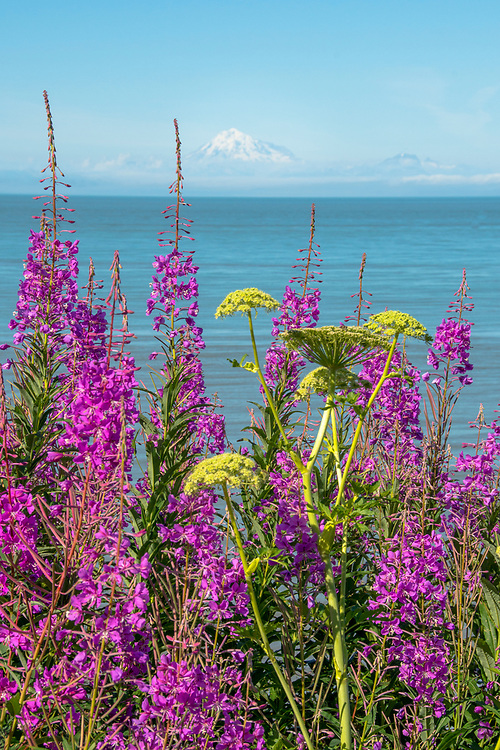 A breathtaking view of Cook Inlet with Mt.Redoubt volcano and the Alaska Range fronted by gorgeous Fireweed.