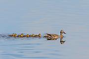 Mallard Duck (Anas platyrhynchos) - in the waters of Lake Murray, San Diego, CA