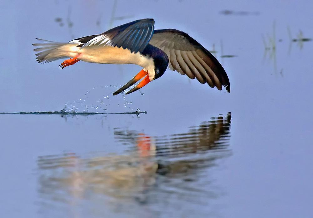 Black Skimmer (Rynchops niger) skimming for food