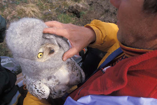 Snowy Owl, (Nyctea scandiaca) Denver Holt covers females head to attach satellite transmitter. Barrow, Alaska
