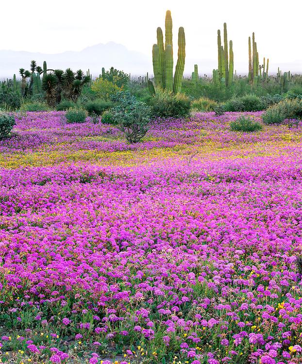 6104-1021 ~ Copyright: George H.H. Huey ~ Sand Verbena [Abronia gracillis] tree yucca [Yucca valida] and cardon cactus [pachycereus pringlei]. Vizcaino Biosphere Reserve.  Sonoran Desert. Baja California, Mexico.