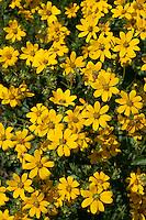 Engelmann's Daisy (Engelmannia peristenia)  Gillespie County, Texas