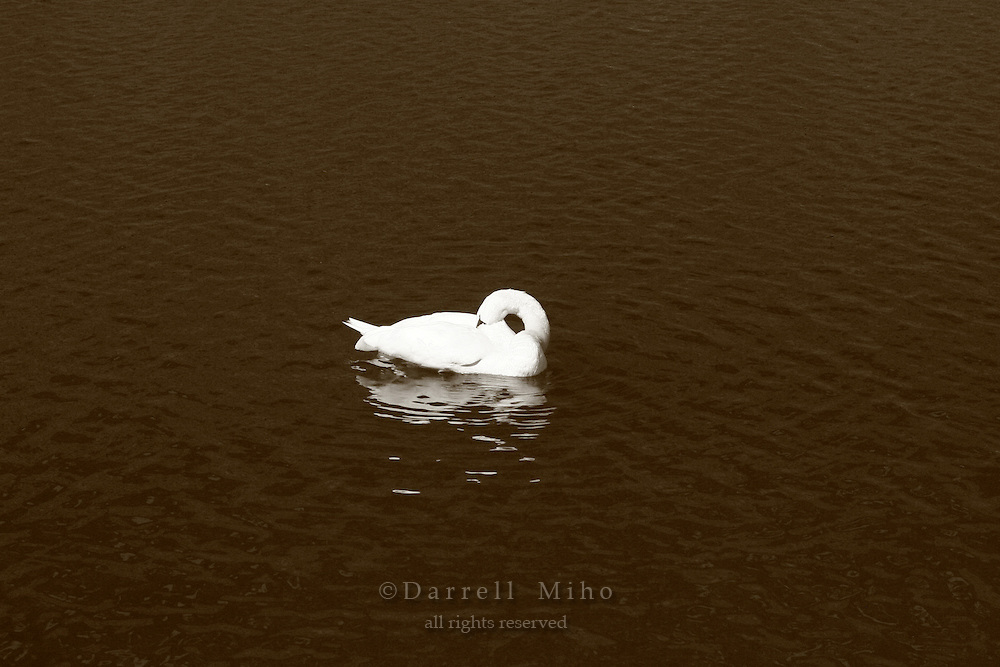 Mar 4, 2006; Tokyo, JPN; Imperial Palace.A swan swims in the moat in front of the Imperial Palace...Photo credit: Darrell Miho