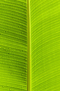 Banana leaf, backlit, Talamanca Mountain, south of San Jose, Costa rica.