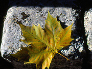 France, Languedoc and Roussillon.  Autumn Plane tree leaf