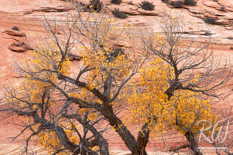 Cottonwood Tree in Fall Against Canyon Wall, Zion National Park, Utah