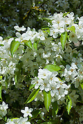 Pear tree in blossom in Southrop in the Cotswolds, Gloucestershire, UK