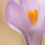 Wilde purple crocus (Crocus sativus L.),Boutaresse, Mont du Cézallier,  Auvergne, France