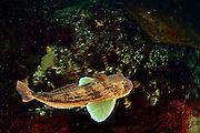 [captive] Tub gurnard, Chelidonichthys lucerna (also Trigla lucerna, T. corax) | Roter Knurrhahn (Chelidonichthys lucerna) Multimar Wattforum in Tönning