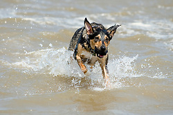Mixed breed dog, Wallace,splashes through the surf on an Dog friendly beach at Cleethorpes England UK  24  May 2010 © Paul David Drabble.