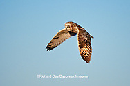 01113-01102 Short-eared Owl (Asio flammeus) in flight at Prairie Ridge State Natural Area, Marion Co., IL