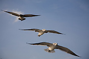 Group of gulls flying over the James River.