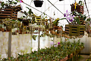 Venda Nova do Imigrante_ES, Brasil...Orquidario em Venda Nova do Imigrante...The orchid greenhouse in Venda Nova do Imigrante...Foto: LEO DRUMOND / NITRO