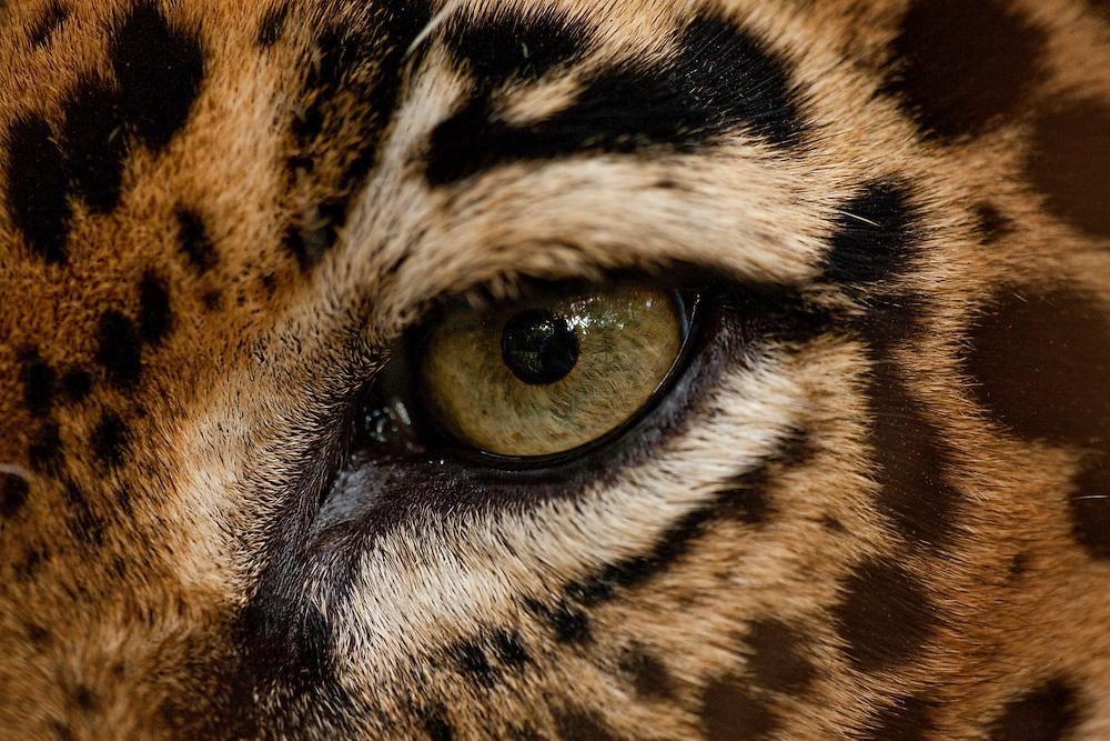 Costa Rica, Guanacaste Province, Captive Jaguar (Felis onca) at Las Pumas Research Center