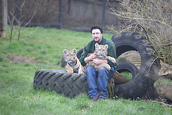 © London News Pictures. 04/02/2013.Head of Large Carnivores Section Ben Warren poses with endangered Siberian tiger brother and sister Kazimir L and Arina R. Howletts Wild Animal Park in near Canterbury, Kent, officially announces endangered Siberian cubs debut. Siberian or Amur tigers are endangered in the wild and it is estimated that only 400 remain. Picture credit should read Manu Palomeque/LNP