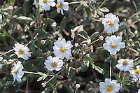 Plains Black-foot Daisy, (Melampodium leucanthum),  Big Bend National Park, Texas