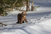 American marten, or pine marten, in winter habitat.